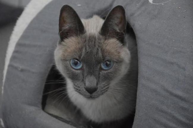 Iago cha10161  chat siamois à adopter dans la région Ile de