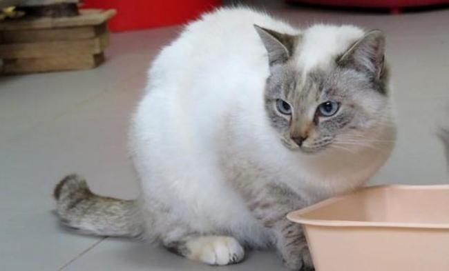 Magnifique Emeraude : chaton siamois à adopter dans la région Pays de la Loire &MG_57