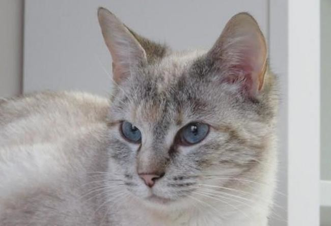 Préféré Emeraude : chaton siamois à adopter dans la région Pays de la Loire &PF_72
