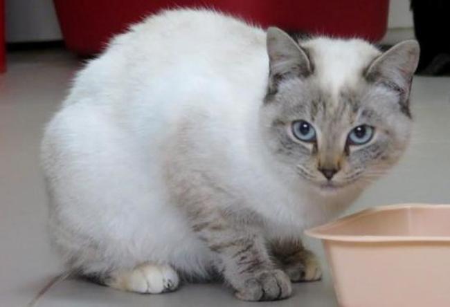 Complètement et trop extrême Emeraude : chaton siamois à adopter dans la région Pays de la Loire &BZ_35