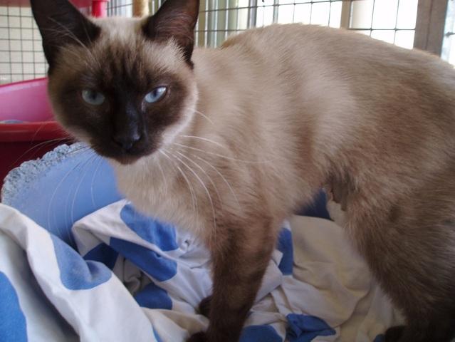 Assez Siamois chat a donner - Annonces chatons PJ99
