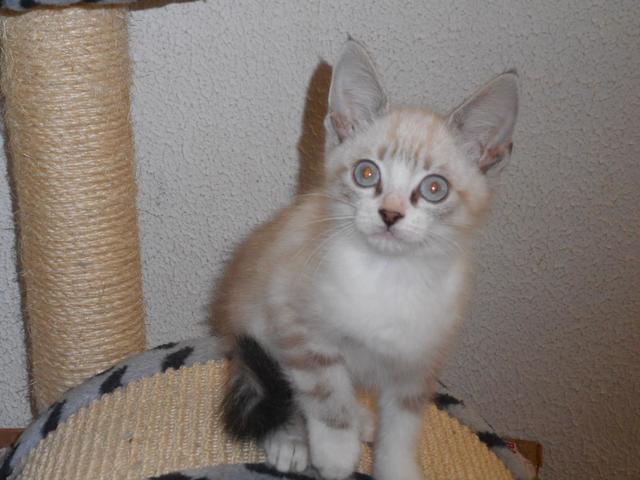 Chaton siamois 2 mois : chaton siamois croisé à adopter