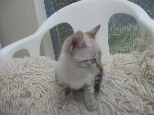 Assez Dino : chaton type siamois à adopter dans la région Bretagne PJ99