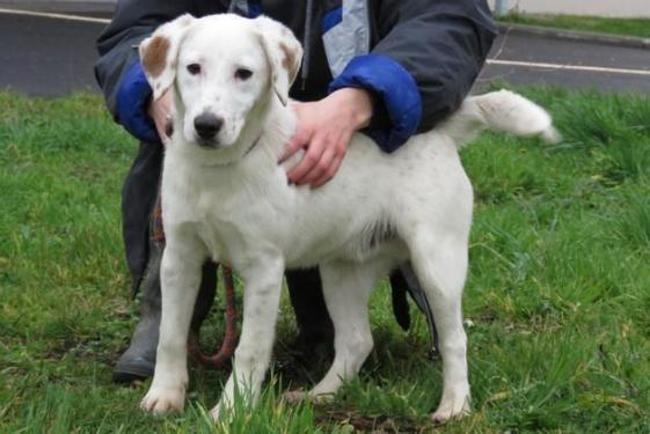 Unik Chiot Croise Autre Labrador Retriever Setter Anglais A Adopter Dans La Region Pays De La Loire