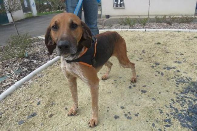 NEMO - anglo 2 ans - Spa de Luynes (37) Chien-anglo-adopter-367506-2