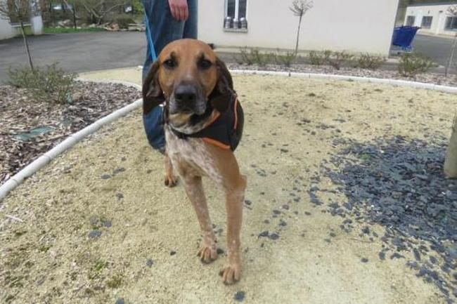 NEMO - anglo 2 ans - Spa de Luynes (37) Chien-anglo-adopter-367506-3