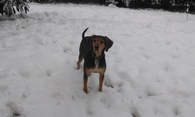 SILVER - anglo 7 ans - Spa de Luynes (37) Chien-anglo-adopter-385584
