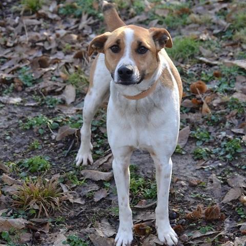 braddy chien anglo crois beagle adopter dans la r gion rh ne alpes. Black Bedroom Furniture Sets. Home Design Ideas