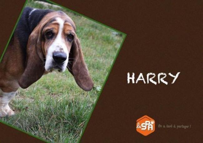 Harry Reserve Chien Basset Hound A Adopter Dans La Region Basse Normandie
