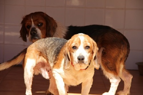mozart petit beagle ind pendant chien beagle adopter dans la r gion rh ne alpes. Black Bedroom Furniture Sets. Home Design Ideas