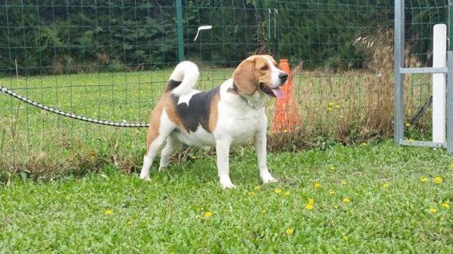 heliot chien beagle adopter dans la r gion provence alpes c te d 39 azur. Black Bedroom Furniture Sets. Home Design Ideas