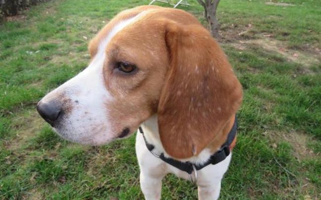 halsey chien beagle adopter dans la r gion bretagne. Black Bedroom Furniture Sets. Home Design Ideas