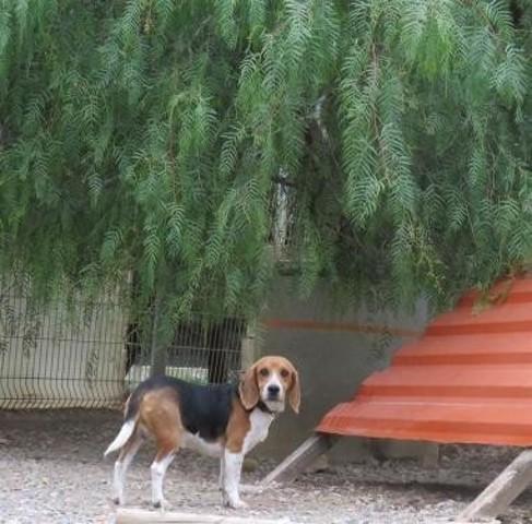 TWITTOS - beagle 6 ans - Spa de Port la Nouvelle (11) Chien-beagle-adopter-348962-2