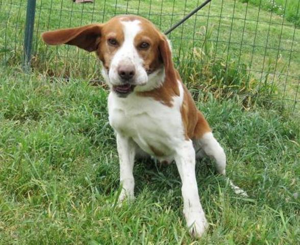 TOMm - beagle 5 ans - Spa de Sainte Marie de Redon (35) Chien-beagle-adopter-373883-2