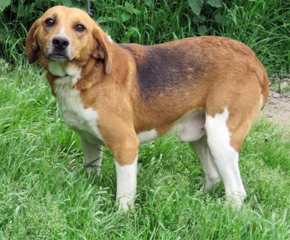 TIMm - beagle 6 ans - Spa de Sainte Marie de Redon (35) Chien-beagle-adopter-373884-2