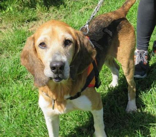 MOISE -  beagle 8 ans - Spa de Chateaubourg (35) Chien-beagle-adopter-386902-2