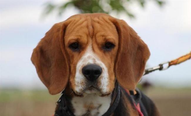 Oreo Chiot Beagle A Adopter Dans La Region Centre