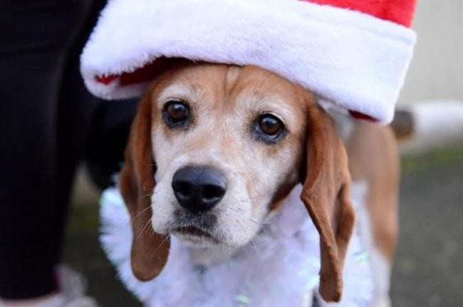 VESPA - beagle 6 ans - Spa de Vitre (35) Chien-beagle-adopter-446227