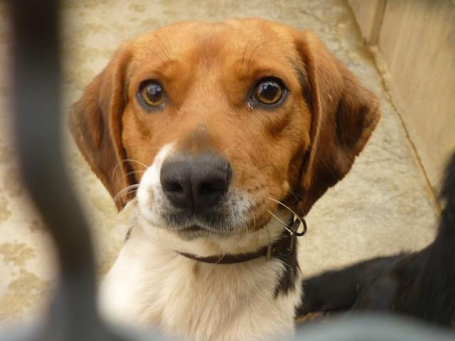 cannelle chien beagle adopter dans la r gion midi pyr n es. Black Bedroom Furniture Sets. Home Design Ideas