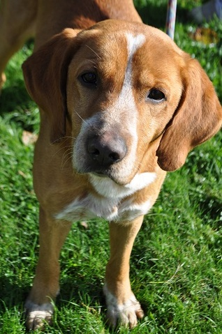 iggy 2 ans voir vid o chien beagle crois epagneul adopter dans la r gion bretagne. Black Bedroom Furniture Sets. Home Design Ideas