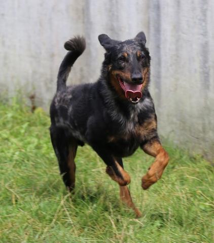 Ghost - l'arlequin : chien beauceron à adopter dans la