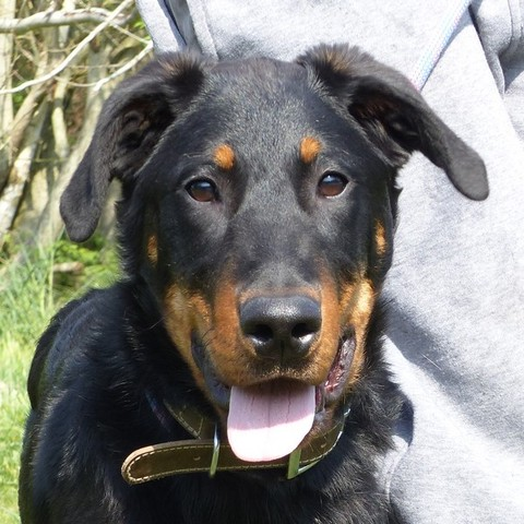 junky de la haie d 39 ipson vaa17043 chiot beauceron adopter dans la r gion ile de france. Black Bedroom Furniture Sets. Home Design Ideas