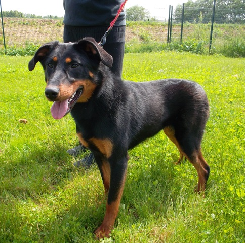 helsa chiot beauceron adopter dans la r gion nord pas de calais. Black Bedroom Furniture Sets. Home Design Ideas