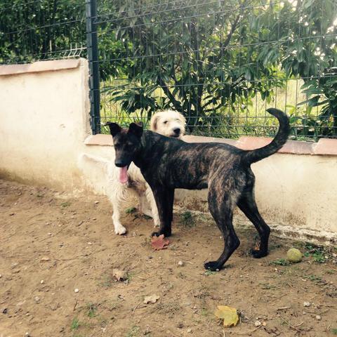Lips : chien berger à adopter dans la région Rhône Alpes