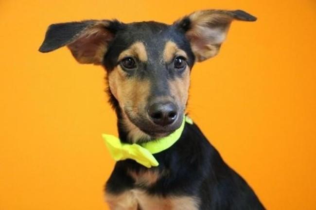 Volt haa21181 chiot berger adopter dans la r gion ile - Volt chien race ...