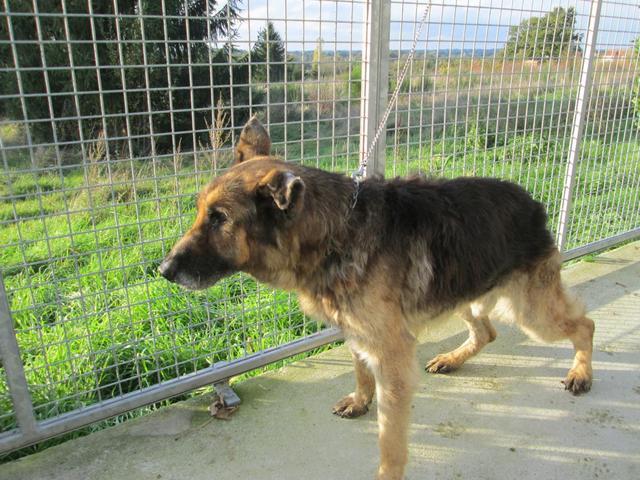 Mabrouck : chien berger allemand à adopter dans la région