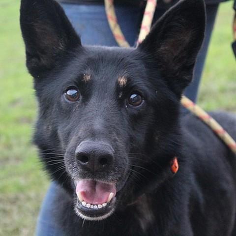 Falka chien berger allemand adopter dans la r gion - Race chien volt ...