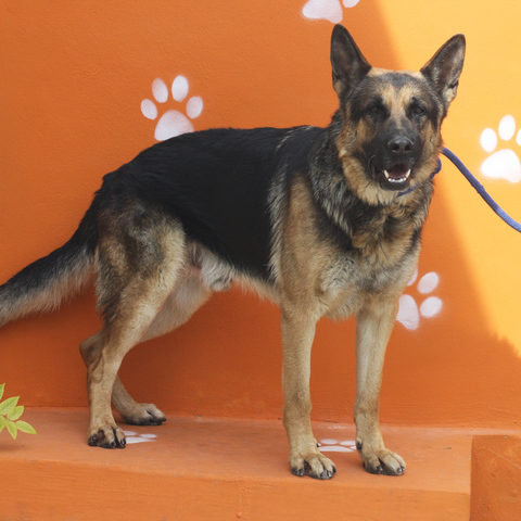 rex chien berger allemand adopter dans la r gion ile de france. Black Bedroom Furniture Sets. Home Design Ideas