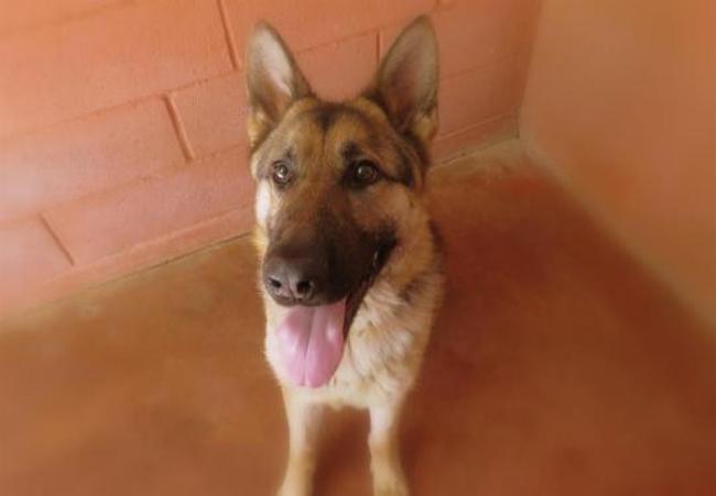 Paa18239 volt chien berger allemand adopter dans la - Race chien volt ...