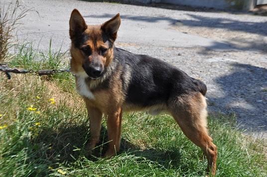 Ost 1an et demi petit ba : chien berger allemand à adopter
