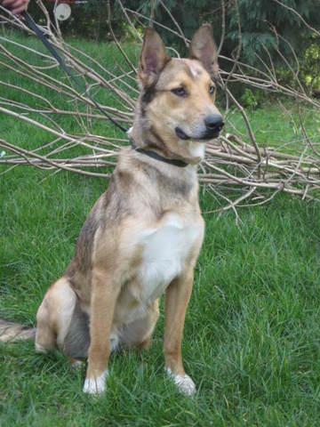 lost chien berger australien crois malinois adopter