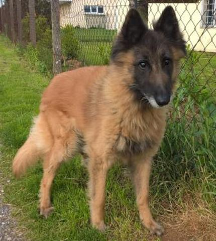 Urvin : chien berger belge tervueren à adopter dans la