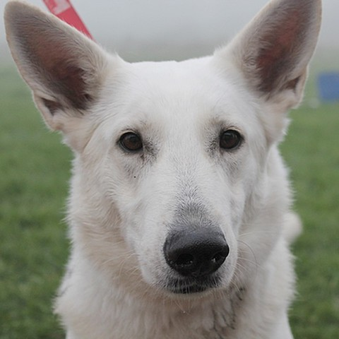 Inka placement provisoire en vue d 39 une adoption chien - Race chien volt ...