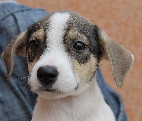 Brasilia chiot berger crois ratier adopter dans la - Race chien volt ...