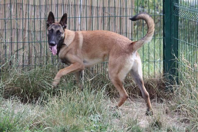 Joker : chien berger malinois à adopter dans la région