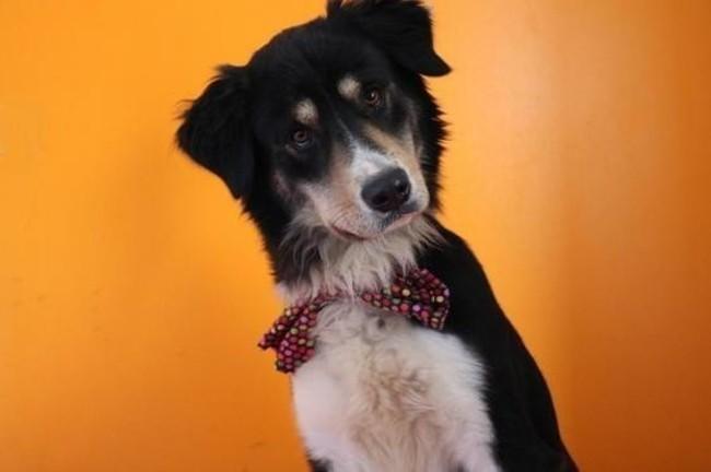 nice haa20436 chien border collie adopter dans la r gion ile de france. Black Bedroom Furniture Sets. Home Design Ideas