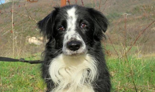 Flaubert Chien Border Collie A Adopter Dans La Region Midi Pyrenees