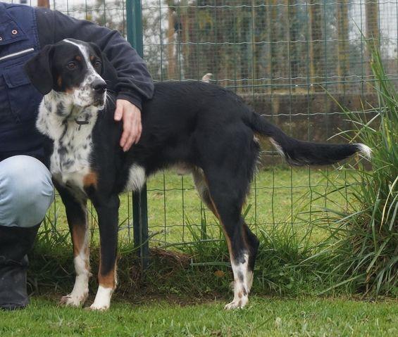Boubou : chien bouvier bernois à adopter dans la région