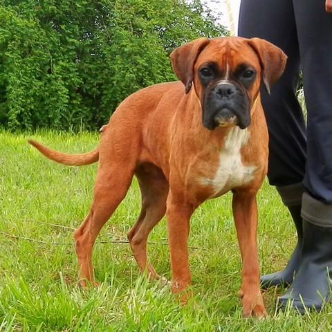 Gypsi : chien boxer à adopter dans la région Ile de France