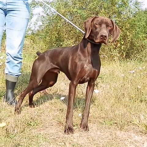Parfait : chien braque allemand à adopter dans la région