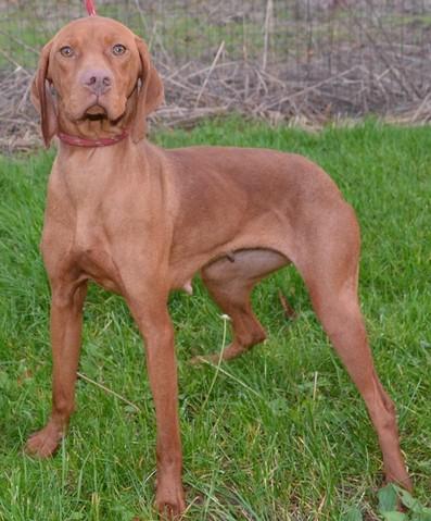 Herta r serv e chien braque hongrois poils courts adopter dans la r gion centre - Braque hongrois a poil court ...