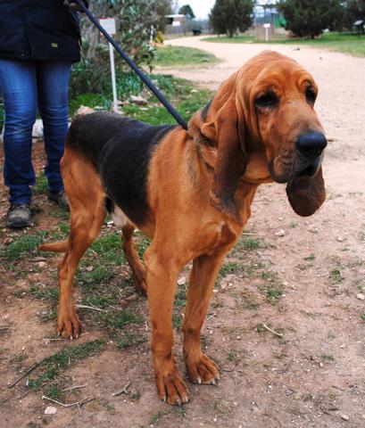 Gardon : chien bruno st hubert français à adopter dans la