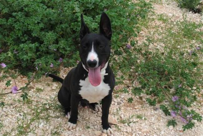Simba Chiot Bull Terrier A Adopter Dans La Region Languedoc Roussillon