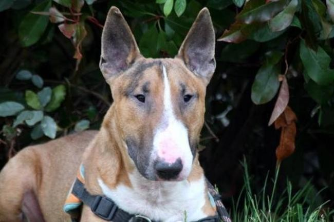 Tyson Chien Bull Terrier A Adopter Dans La Region Centre