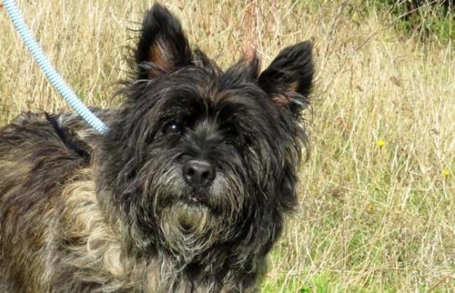 Carl Chien Cairn Terrier 224 Adopter Dans La R 233 Gion Pays