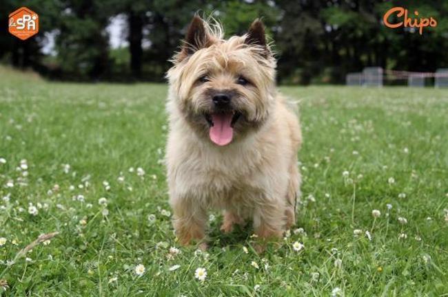 Chips Chien Cairn Terrier A Adopter Dans La Region Bretagne